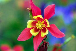 50 Bright Pink Yellow Columbine Flower Perennial Seeds #STL17 - $15.17