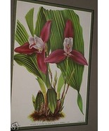 Lindenia Print Limited Edition Lycaste Luciani Imsch Superba Orchid Coll... - $15.19