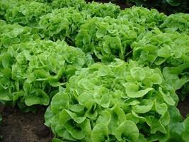 1000 Green Oakleaf Lettuce Seeds 2019 (All Non-Gmo Heirloom Vegetable Seeds!) - $5.92