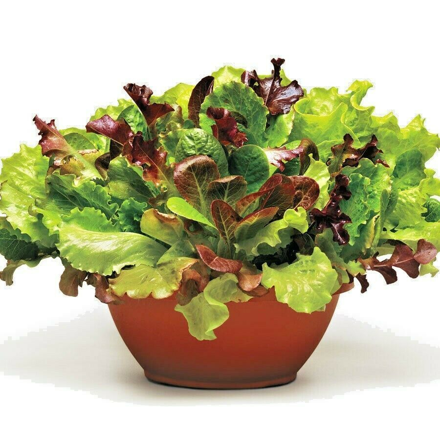 Primary image for SHIPPED FROM US 40,000+ORGANIC GOURMET SALAD MIXED GREENS Non-GMO Seeds, CB08