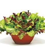 SHIPPED FROM US 40,000+ORGANIC GOURMET SALAD MIXED GREENS Non-GMO Seeds,... - $39.00