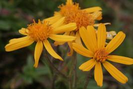 20 Senecio abrotanifolius Seeds , synonym of Jacobaea abrotanifolia - $8.95