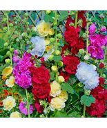 "SHIPPED FROM US 100+DWARF HOLLYHOCK MIX 24""Tall Full Size Seeds, CB08 - $17.00"