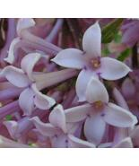 Lilac Candle/Soap Fragrance Oil 1oz - $5.58
