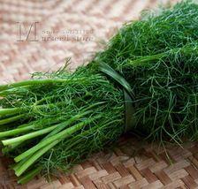 Great Fragrance 100 Fennel Herb Seeds Tasty DIY Home Vegetable Garden - $4.97