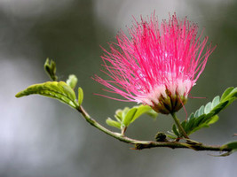 150 Seeds Albizia julibrissin Mimosa Tree Pink Siris Persian Silk Tree Seed - $13.99
