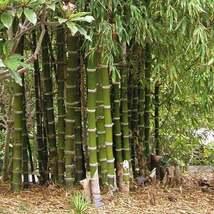 Green Giant Thorny Bamboo Seeds Bambusa bambos Seed 20+ Pcs - $21.82