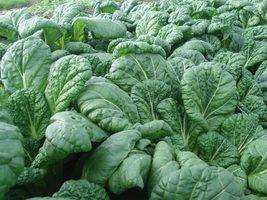 2,500 or 1/4-oz SAVOY TATSOI heirloom non-GMO seeds, Brassica rapa var. narinosa - $18.96