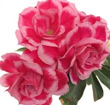 2pcsVery Graceful 7layer bigbloom AdeniumRose PinkPetals LightPink Edge SeedIMA1 - $14.83
