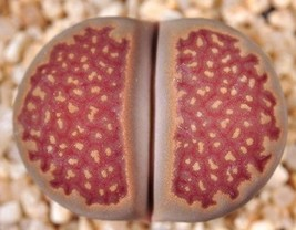 Lithops Hallii Ochracea Rare Living Stones Rock Red Mesemb Exotic Seed 15 Seeds - $7.99