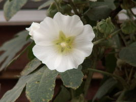 30 Organic Irish Eyes Hollyhock Seeds - $8.20