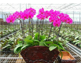 50 Seeds/Pack hydroponic orchid seeds,indoor flowers bonsai four seasons - $2.79