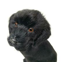 Black Labrador Real Goat Hair Figurine - $41.58