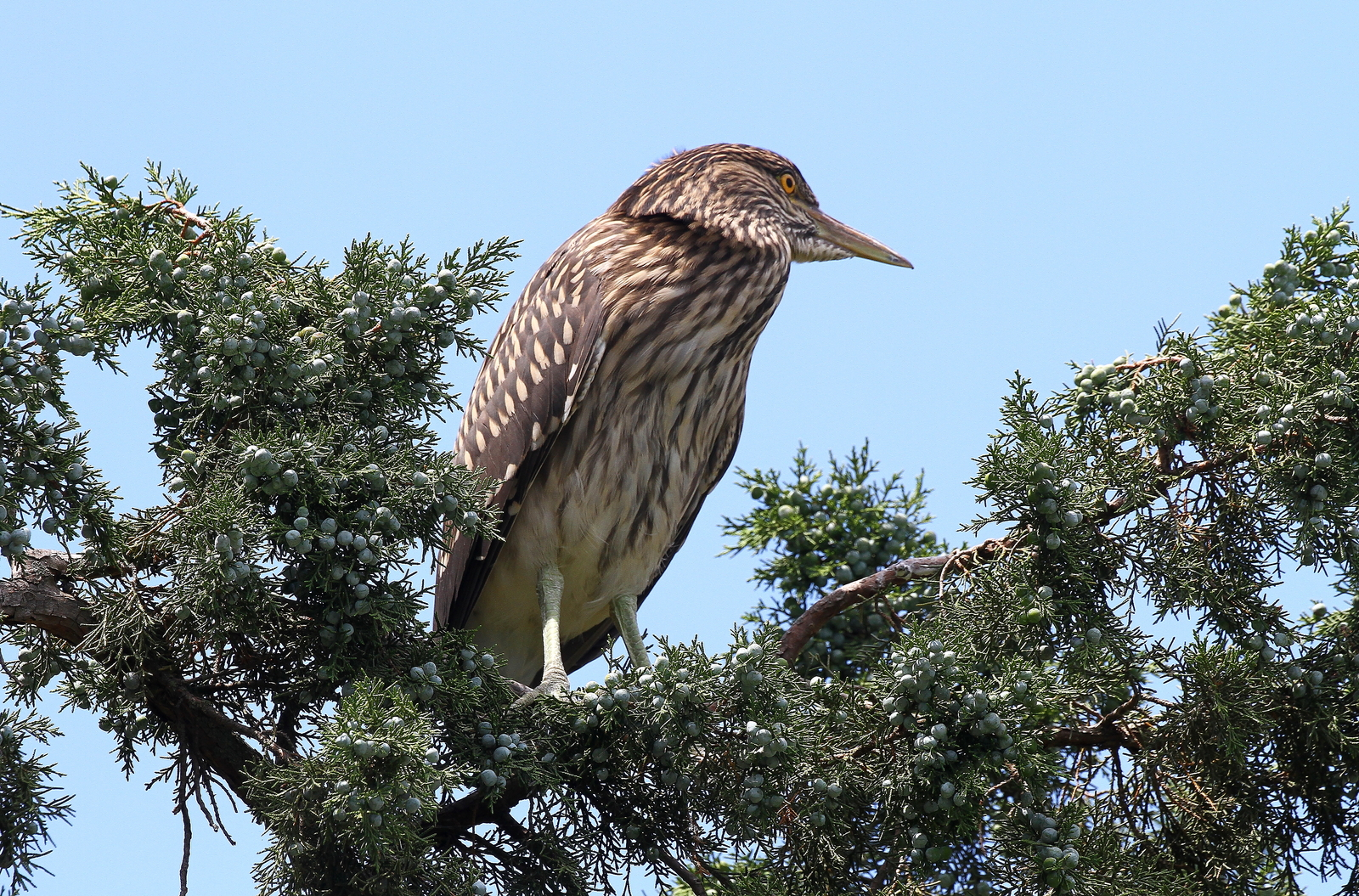 Juvenile Black Crowned Night Heron 13 x 19 Unmatted Photograph