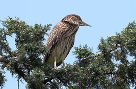 Juvenile Black Crowned Night Heron 13 x 19 Unmatted Photograph - $35.00