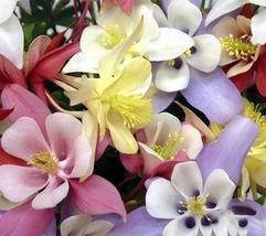 1000pcs Gorgeous Flower Fresh Seeds Columbine Origami Mix #TLM1 - $37.99