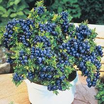 1 Plant Top Hat Blueberry  Dwarf Perennial Gallon Pot - $48.99