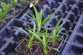 Live Plant  - Pandanus amaryllifolius - Pandan leaf - Garden & Outdoor Living - $50.00