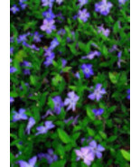 Periwinkle Evergreen Vinca Minor Ground Cover Hardy Live Plant 100 Rooted - $99.00