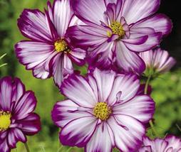 50pcs Very Graceful Fizzy Rose Picotee' Cosmos bipinnatus Annual Flowers... - $13.90
