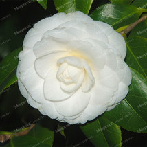 100PCS Camellia Seeds Flower Seeds Plants Common Camellia Seeds 21 - $4.92