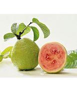 Plant Psidium guajava - Barbie Pink - Guava - $20.25