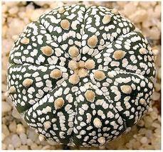 10 Astrophytum Asterias Sand Dollar Cactus, Sea Urchin Cactus Seeds FREE GIFT - $9.00