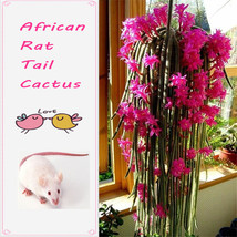 100Seeds African Rat Tail Cactus Seeds cacti Succulents Plant anti-Radiation - $4.31