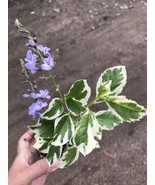 Live Plant-variegated SAPPHIRE SHOWERS Purple Duranta Sky Flower Golden... - $6.60