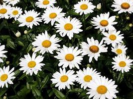 Non GMO Bulk Shasta Daisy Flower Seeds Chrysanthemum Maximum (5 Lbs) - $227.70