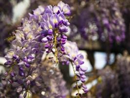 2 Gal. Tree Plant Wisteria Purple Flower Grow Trees Outdoor Planting Gar... - $135.99