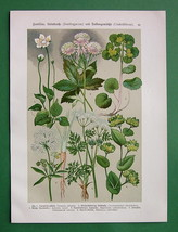 MEDICINAL FLOWERS Thoroughwax Saxifrage Bog Star - 1890s Color Litho Print - $11.44