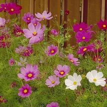 500 Fresh Seeds - Cosmos Sensation Mix Flower - $12.38