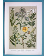 BOTANICAL PRINT 1896 Color Litho - Field Flowers Sun Rose Bitter Cress - $13.77