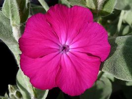 SHIPPED FROM US 400 Rose Campion Magenta Silver Catchfly Flower Seeds, LC03 - $21.00