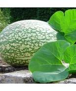 8 seeds Heirloom Malabar Gourd Seeds, fig leaf gourd chilacayote asian p... - $9.98