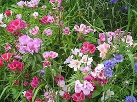 500 Seeds Godetia Dwarf Mix - Clarkia Amoena - $39.60