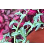 "3 1/2"" POT SENECIO PEREGRINUS 'STRING OF DOLPHINS' LIVE PLANT - $53.39"