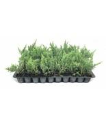 Juniper Parsoni - Live Plants - Drought Tolerant Cold Hardy Ground Cover - $28.58+