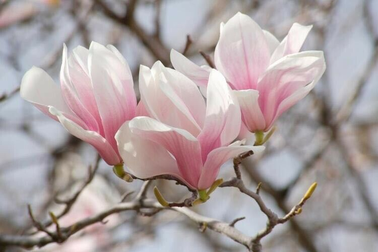 Saucer Magnolia Soulangeana 1 gallon pot