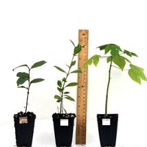 Actinidia deliciosa - Matua Male Kiwi Live Plant - Gardening - Outdoor Living  - $53.99