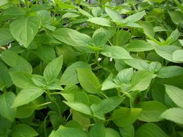 800 Seeds of Lemon Basil - Ocimum x citiriodorum - $14.45