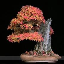 20 Seed Bonsai Trident Maple Seeds, DIY Beautiful Tree DO - $8.99