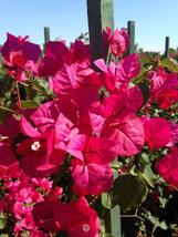 Plant Bougainvillea - 'Oh My My' (It's not seeds) - $26.25