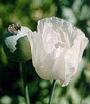 SHIP FROM US 35 Seeds Papaver Pepperbox Flower,DIY SB Flower Seeds - $27.99