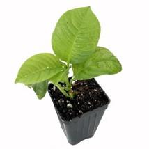 Granadilla Passion Fruit Live Plant Vine - Passiflora quadrangularis Green  - $38.77