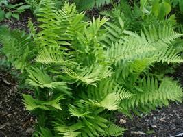 Lady Fern 25 Plants in 3-1/2 inch Pots FREE SHIPPING - $147.25