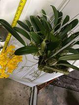"Whopper Dendrobium aggregatum Bloom size 6"" wood slat basket LARGE SPECIES image 4"