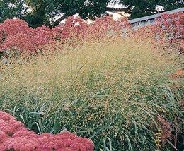 1 Starter Plant of Panicum virgatum Rotstrahlbusch - $38.61