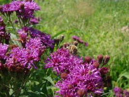 100 Seeds - Missouri Ironweed Monarch Native Purple Vernonia Missurica #... - $17.99